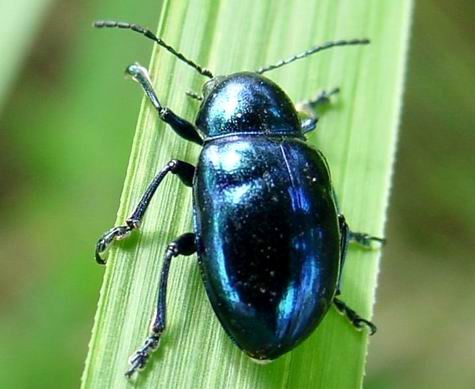 Chinese Chrysochus leaf beetle.jpg