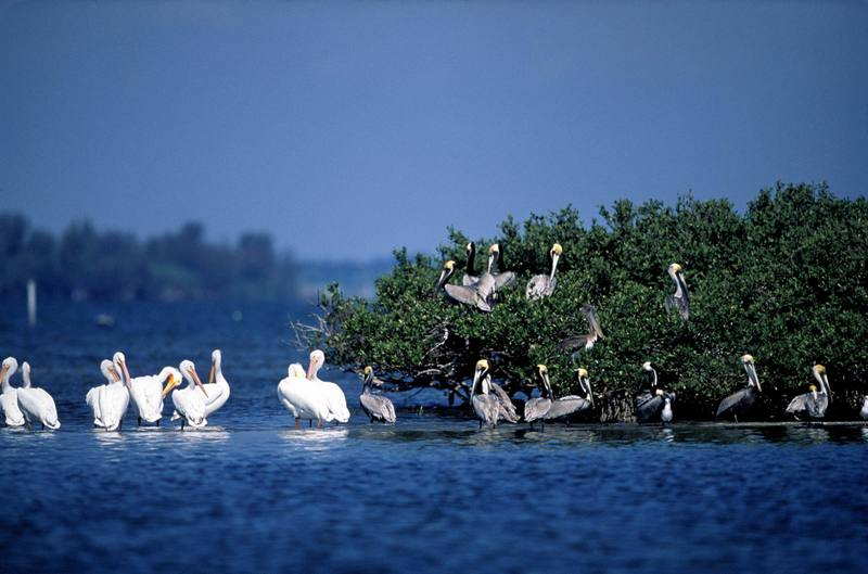 Brown and White Pelicans Rest On Pelican Island NWR.jpg