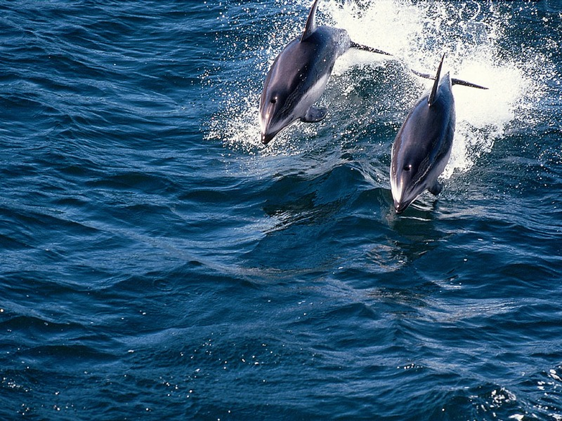 ST-DOWH001@Two Pacific White-sided Dolphins.jpg
