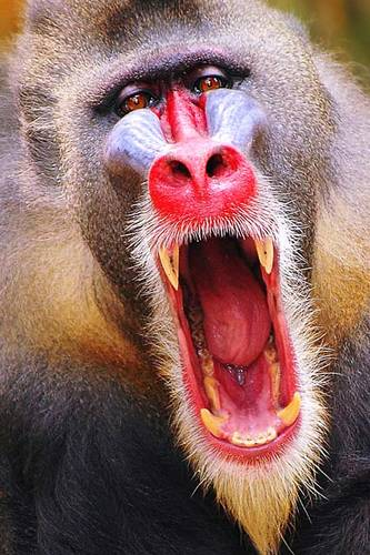 881Bold n Beautiful Mandrill-med.jpg