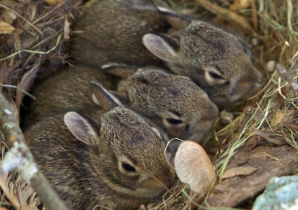 Three bunnies wait patiently in their nest for their mother to bring them lunch in Madison-Wis- Saturday.jpg