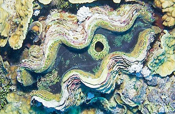 Fluted giant clam.jpg