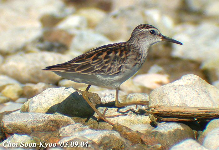 Calidris subminuta02.jpg