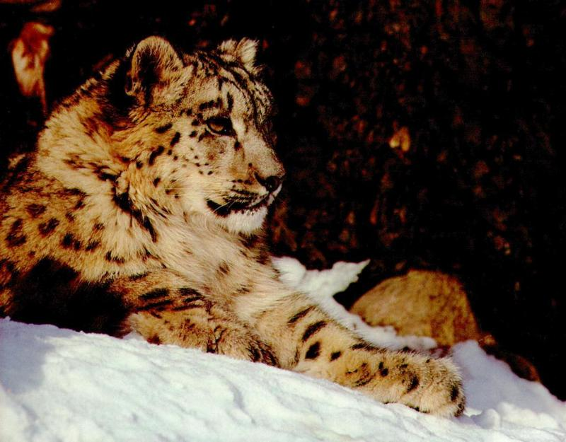 sl07-Snow Leopard-Sitting on snow.jpg