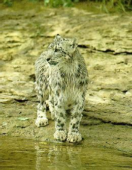 sl18-Snow Leopard-by the river.jpg