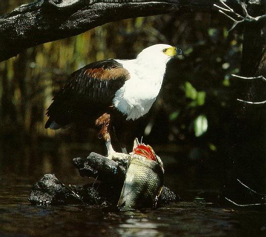 Pardosa birds African fish eagle 002-on rock with catch.jpg