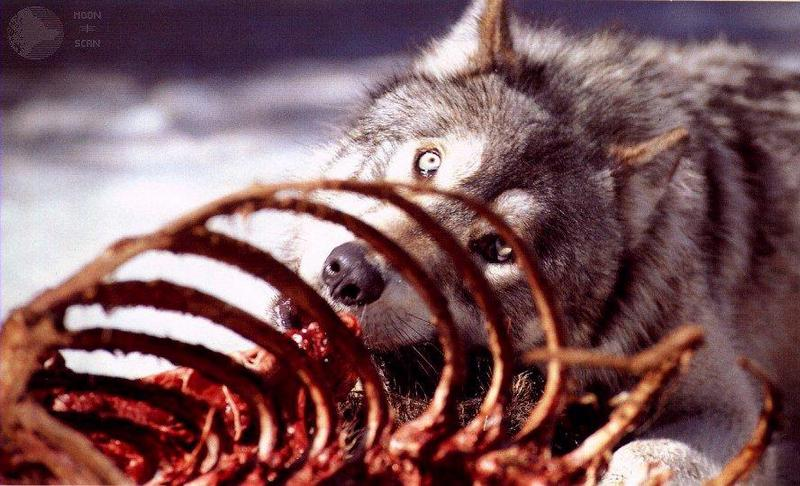 dwwolf29-Gray Wolf-Eating carrion.jpg