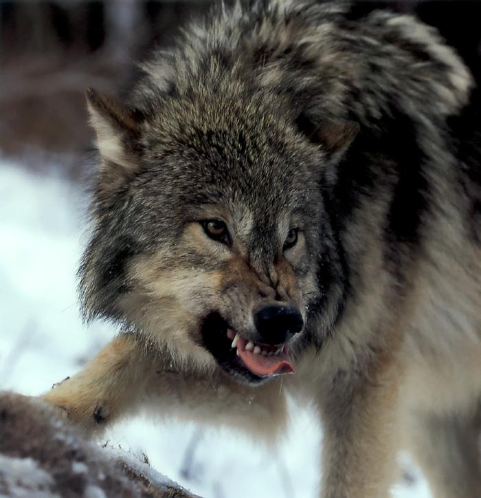 p-wolf34-Gray Wolf-snarling face.jpg