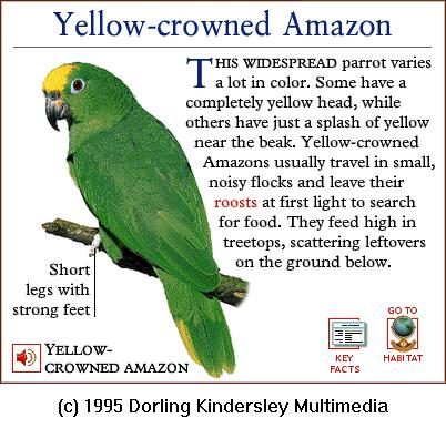 DKMMNature-Bird-Yellow-crowned Amazon-Parrot.gif