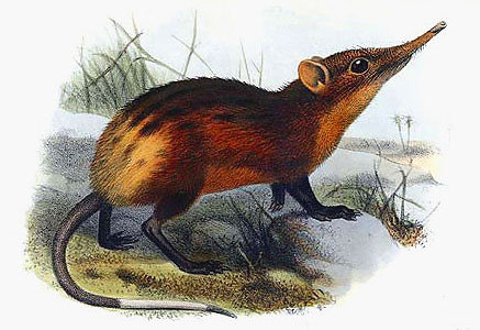 Golden-rumped Elephant Shrew, Rhynchocyon chrysopygus-J Smit.jpg