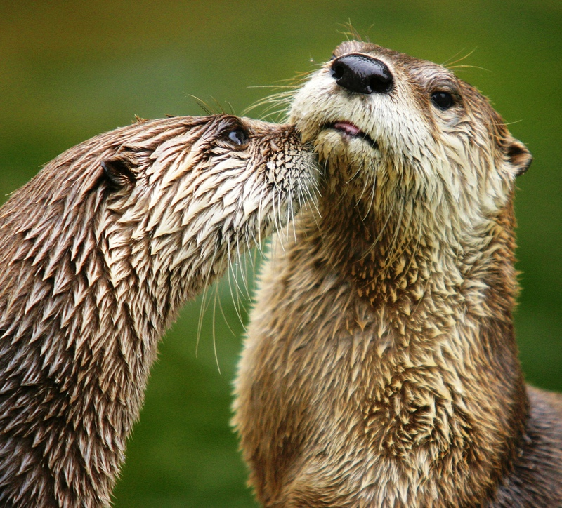 Lutra Canadensis fullres-Northern River Otter (Lontra canadensis).jpg