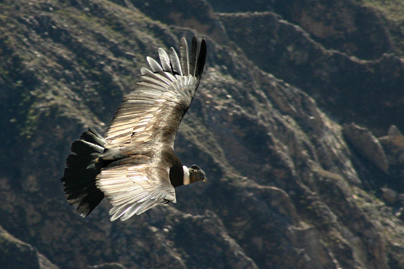 Andean Condor (Vultur gryphus) flying over the Colca canyon in Peru.jpg