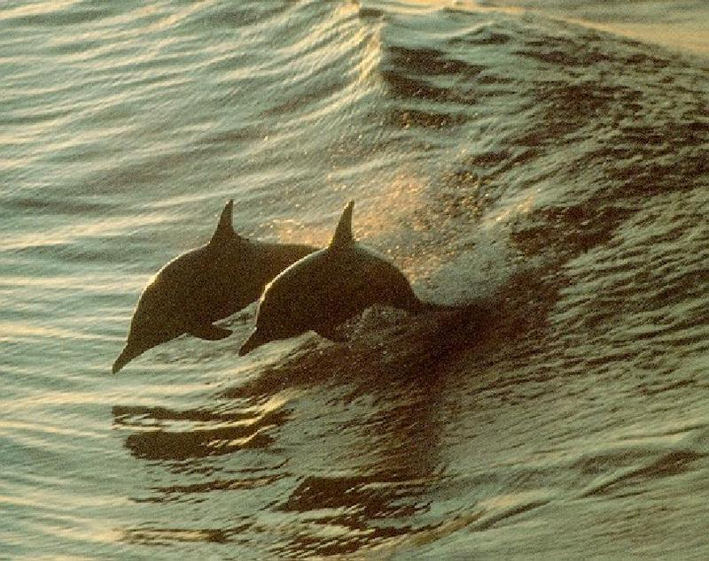 Spinner Dolphins-surfing the wave.jpg