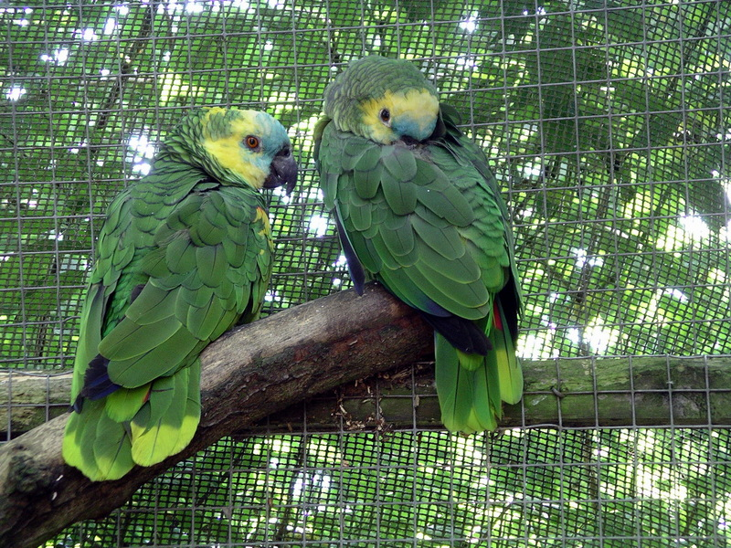Blue-fronted amazon parrot 31l07 Blue-fronted Amazons (Amazona aestiva).jpg