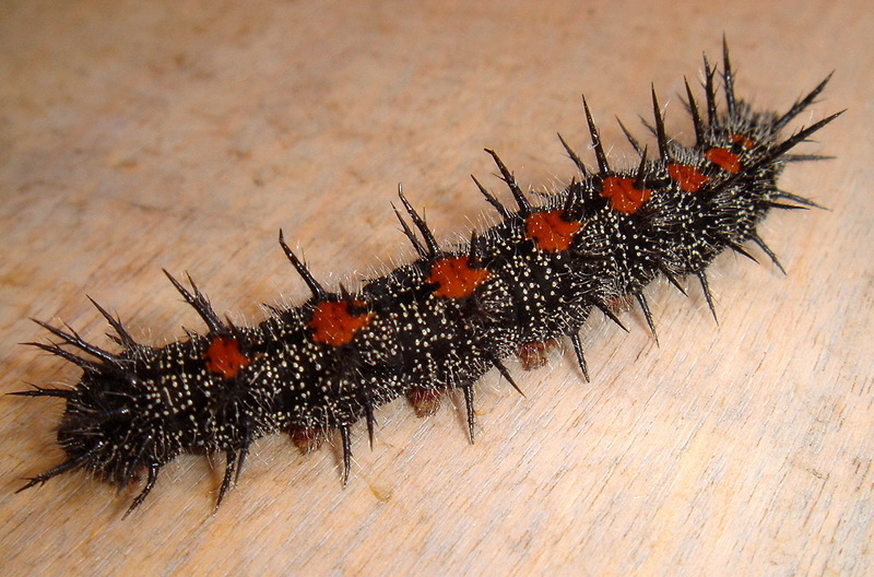 Mourning Cloak (Nymphalis antiopa) - spiny elm caterpillar.jpg