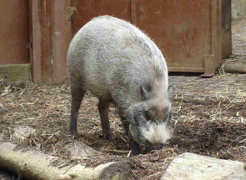 Bearded Pig (Sus barbatus).jpg