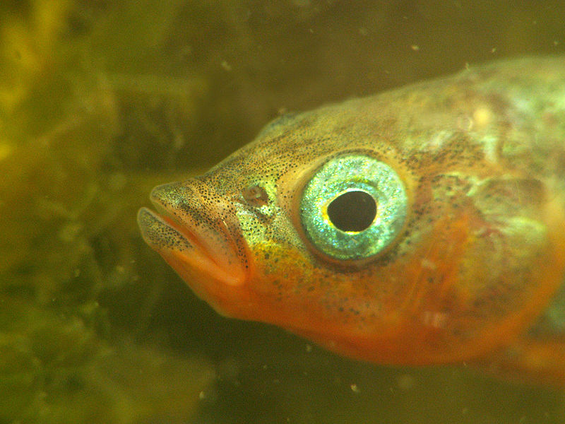 Three-spined Stickleback (Gasterosteus aculeatus) Male Head.jpg