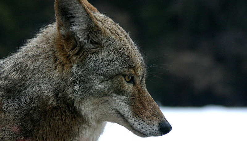 Coyote (Canis latrans) portrait-canidae.jpg