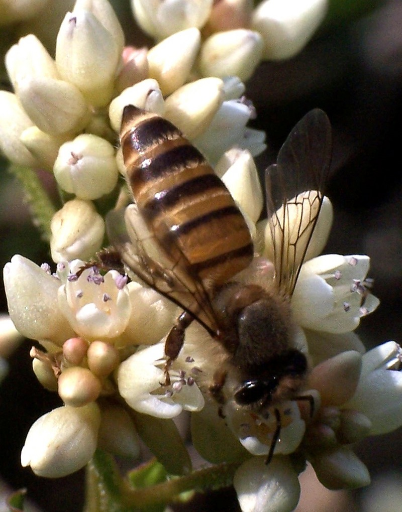 Eastern Honey Bee (Apis cerana).jpg