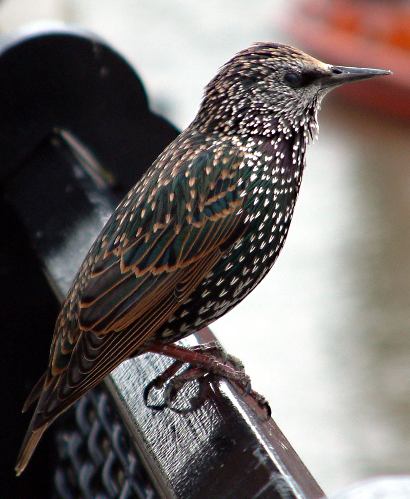 Common starling in london-European Starling, Sturnus vulgaris.jpg