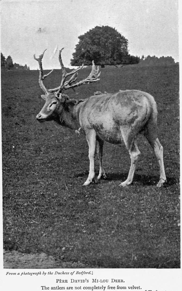 Pere David Lyd-P??re David\'s Deer (Elaphurus davidianus).jpg