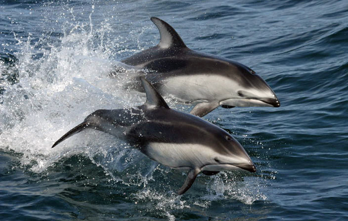 Pacific white-sided dolphins (Lagenorhynchus obliquidens) NOAA - Pacific white-sided dolphin (Lagenorhynchus obliquidens).jpg