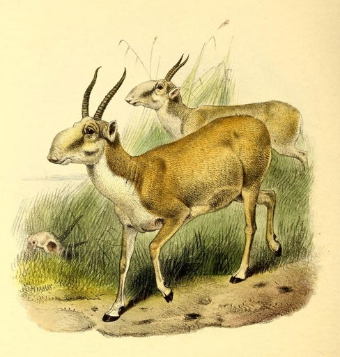 The book of antelopes (1894) Saiga tatarica - saiga antelope (Saiga tatarica).png