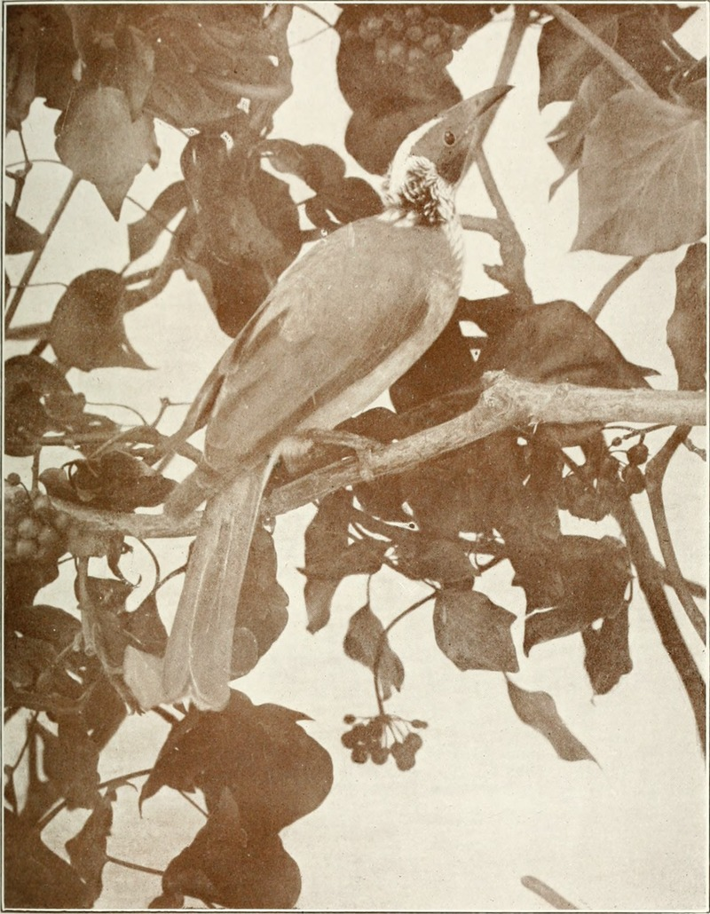 Bird notes (1913) (14563409808) - silver-crowned friarbird (Philemon argenticeps).jpg