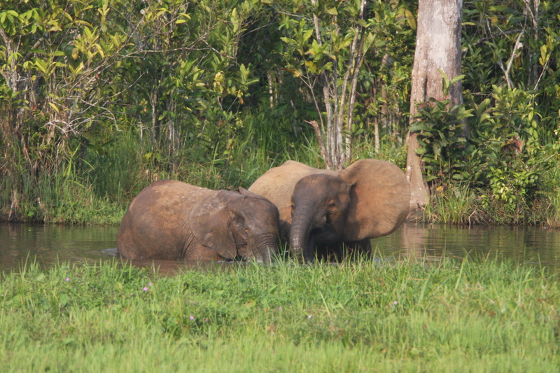 Elephant mother and calves (6841454314) - African forest elephants (Loxodonta cyclotis).jpg