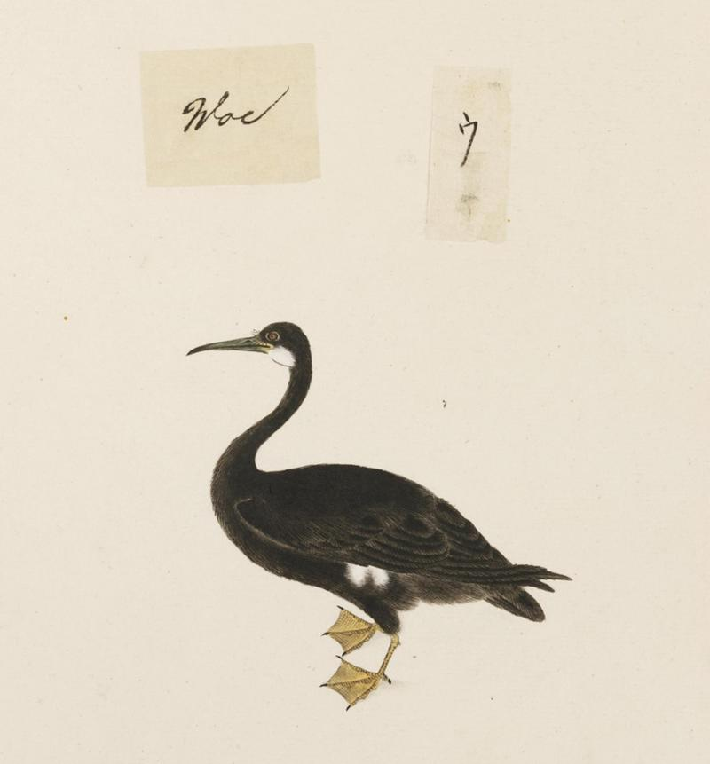 Naturalis Biodiversity Center - RMNH.ART.446 - Phalacrocorax pelagicus - Kawahara Keiga - 1823 - 1829 - Siebold Collection - pencil drawing - water colour - pelagic cormorant, Baird's cormorant (Phalacrocorax pelagicus).jpeg