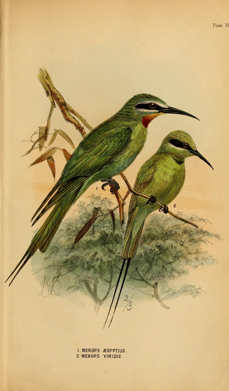 A handbook to the birds of Egypt (Plate VII) (6871345962) - Merops orientalis cleopatra (green bee-eater), Merops viridis (blue-throated bee-eater).jpg