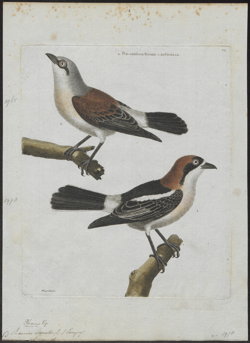 Lanius senator - 1790-1796 - Print - Iconographia Zoologica - Special Collections University of Amsterdam - UBA01 IZ16600425.jpg
