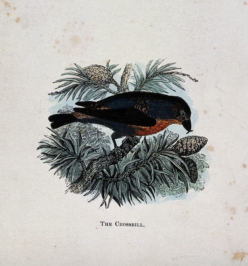 A crossbill (Loxia curvirostra). Coloured engraving by Whimp Wellcome V0022228.jpg