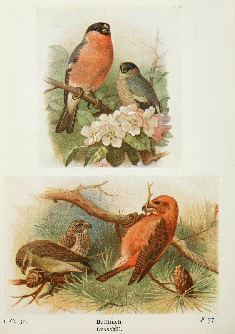 The birds of the British Isles and their eggs (8263773431).jpg