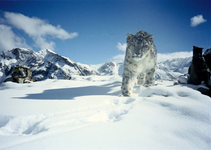 Snow Leopard in Hemis National Park - snow leopard, ounce (Panthera uncia syn. Uncia uncia).jpg