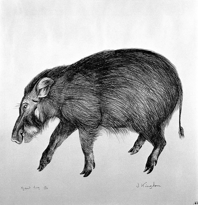 A giant hog. Lithograph by Jonathan Kingdon. Wellcome L0024954.jpg