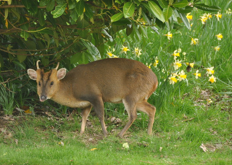 Muntjac deer at Dumbleton Hall - Reeves's muntjac (Muntiacus reevesi).jpg