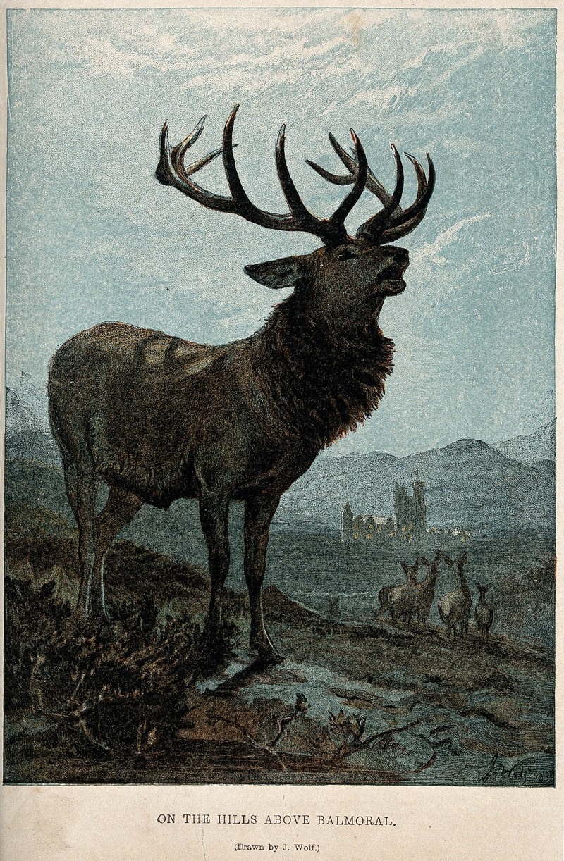 A red deer stag rutting on a hill by Balmoral Castle. Colour Wellcome V0021540.jpg