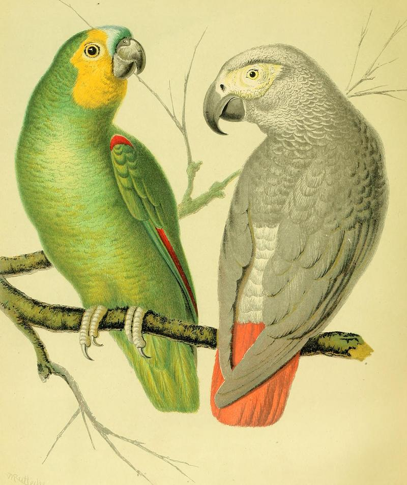 The illustrated book of canaries and cage-birds, British and foreign (1878) (14748666991).jpg