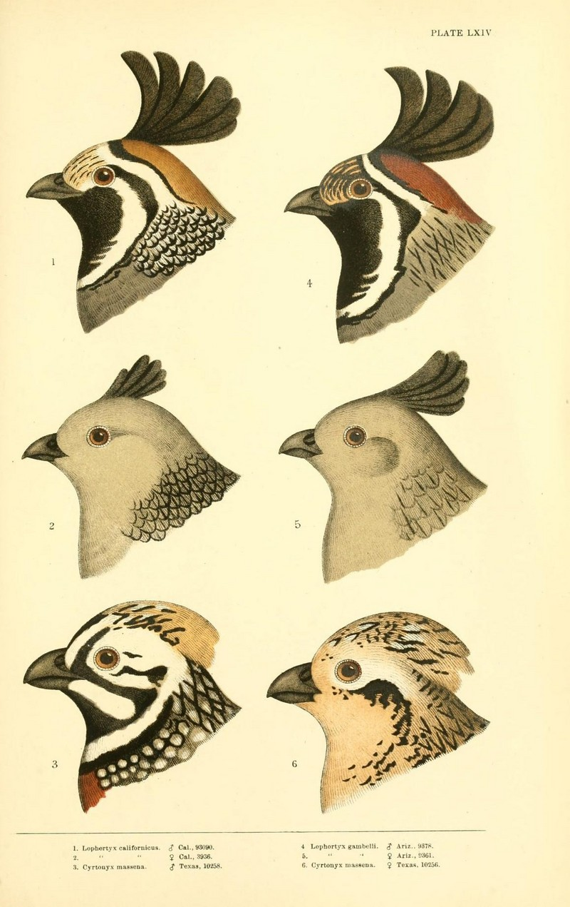 A history of North American birds (Plate LXIV) (8414295814).jpg