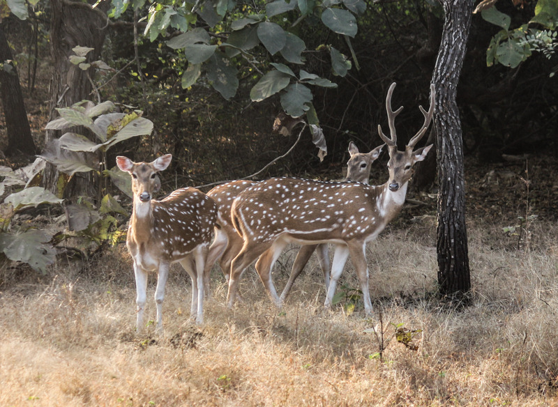 Chital in Gir Forest National Park - Indian spotted deer (Axis axis).jpg