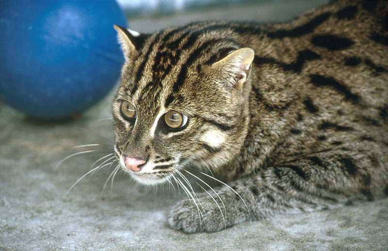 WOES1 102-Fishing Cat.jpg