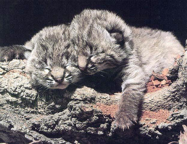 BigCat17-Bobcat Kittens-Sleepy.jpg
