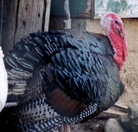 Turkey-from Black Pine Animal Park-by Denise McQuillen.jpg