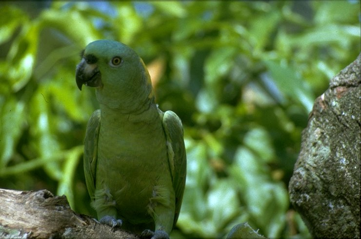 MKramer-Yellow-naped Amazon parrot-perching on tree.jpg