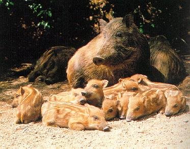 KoreanPig pm55-WildBoars-Mom n babies.jpg